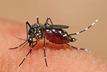 Aedes_aegypti_feeding